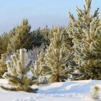 К Новому году омские лесхозы заготовят около 46 тысяч хвойных деревьев