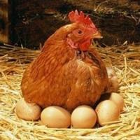 Омские самообогревающиеся курицы выдвинуты на всероссийский конкурс