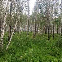В лесничестве Омской области собирались вместо плохих деревьев вырубать хорошие