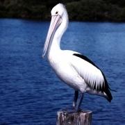 Омские чиновники побоялись беспокоить кудрявых пеликанов
