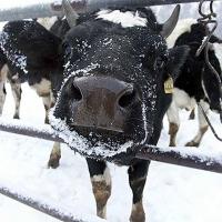 За год омские крестьяне избавились от 1300 коров