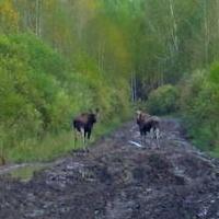 В Омской области сфотографировали лосей, прогуливающихся по дороге