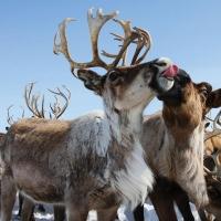 В Омской области сбежали северные олени и создали пробку на трассе