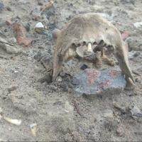В Омске собака и ее хозяин обнаружили человеческую челюсть