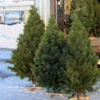 Торговля елками в Омске начнется с первого декабря
