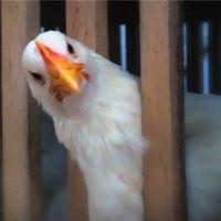 Более пяти тысяч кур украдено с птицефабрики «Иртышской»