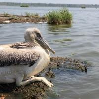 Кудрявые пеликаны променяли Омскую область на Турцию