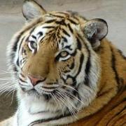 """Большереченский зоопарк отмечает """"День тигра"""""""