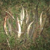 Омские рыбаки могут сесть на два года за улов стерляди
