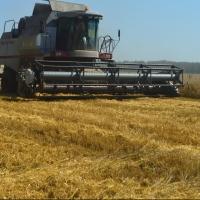 В Омской области уродилась озимая пшеница и рожь