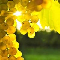 22 тонны грейпфрутов и винограда запретили ввозить в Омск