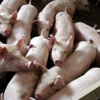 Под натиском африканской чумы свиней пали еще два района Омской области