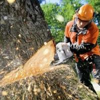 В Омской области погибли два десятка вековых кедров