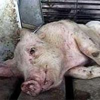 В Омской области нашли вирус африканской чумы у свиней