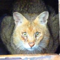 Семья Большереченского зоопарка пополнилась камышовым котом