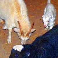 В Большереченском зоопарке появились ягненок и козлята