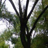 В Омске на детсад № 238 могут рухнуть засохшие деревья