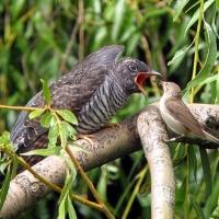 Минприроды потратит на изучение омских птиц-паразитов 60 тысяч федеральных рублей