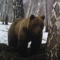 890 омских медведей мучаются от бессонницы из-за погоды