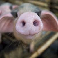 """""""Омский бекон"""" оштрафовали на 400 тысяч за свиной навоз"""