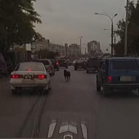 На проезжей части в Омске металась овца