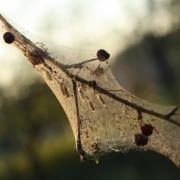 Лесам Омской области угрожает непарный шелкопряд