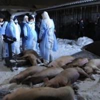 Жители Омской области отказываются сдавать заболевших чумой свиней