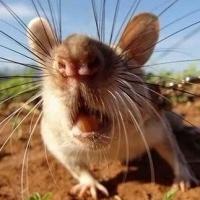 В буфете омской школы сфотографировали крысу