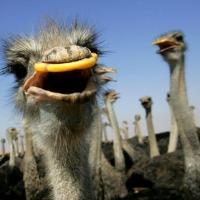 Кузбасский шахтер вырастил страуса для омского цирка