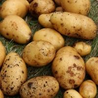 Картофельные поля Таврического района попали под карантин