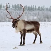 Ученые нашли северных оленей в Омской области