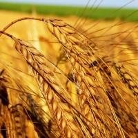 """Омская область стала """"пшеничным краем"""""""
