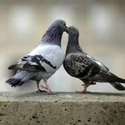 Немцы будут исследовать омских голубей