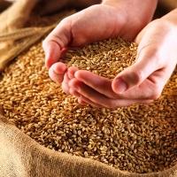 Омская область готовится поставлять зерно в Монголию