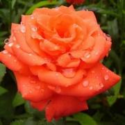 Россельхознадзор вернул розы с трипсом
