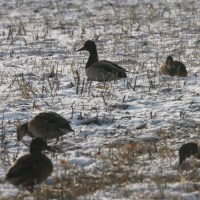 Перелетные птицы останавливаются на кормежку в омской «Птичьей гавани»