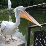 Пеликаны попали в кольцо