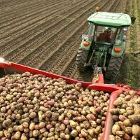 Омская область самообеспечивает себя картофелем на 130%