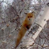 Омские лисы начали лазить по деревьям