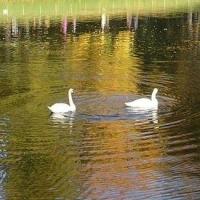Имена лебедей, живущих в омском парке, определили голосованием