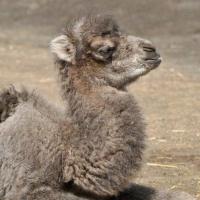 """В Большереченском зоопарке родился """"кудрявый"""" верблюжонок"""