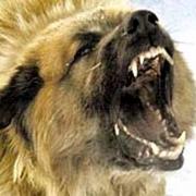 В Омске на школьницу напала кавказская овчарка