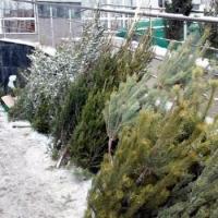 40% продающихся в Омской области новогодних елей завезены из других регионов