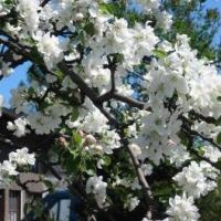 Омичи хотят видеть символом города сибирскую яблоню