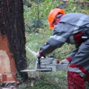 Вырубленные деревья на Красном Пути могут обернуться тюрьмой