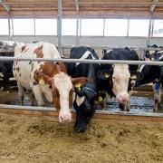 Омских коров станут доить по белорусским технологиям