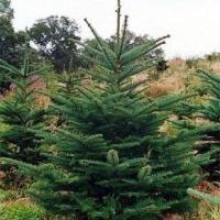 В Омской области арестовали 600 новогодних елок
