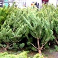 В Омске определили места для продажи новогодних елок