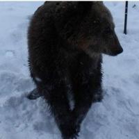 Омич выставил на продажу живого медведя
