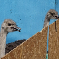 В омской колонии будут разводить черных африканских страусов